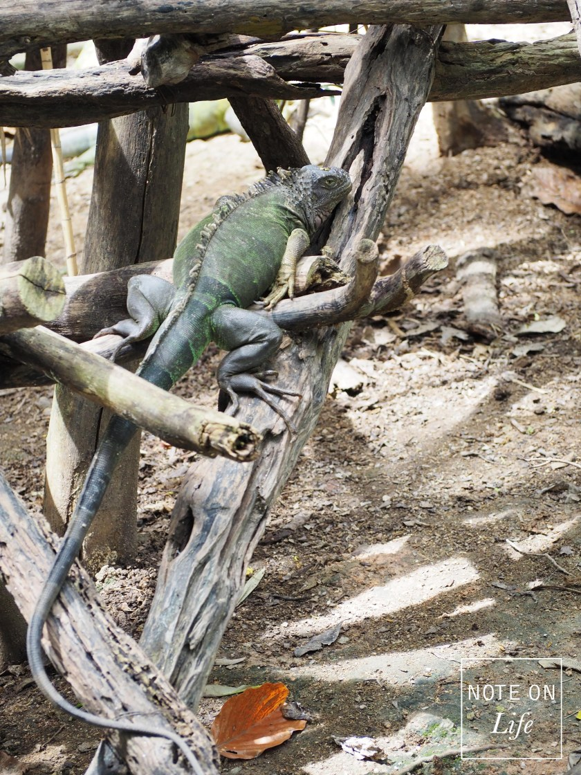 The Green Lguana Chiangmai Zoo Northern Thailand