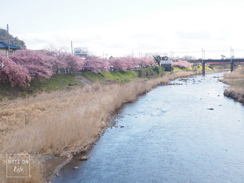 Sakura_Kawazu_Japan_河津櫻_Travel