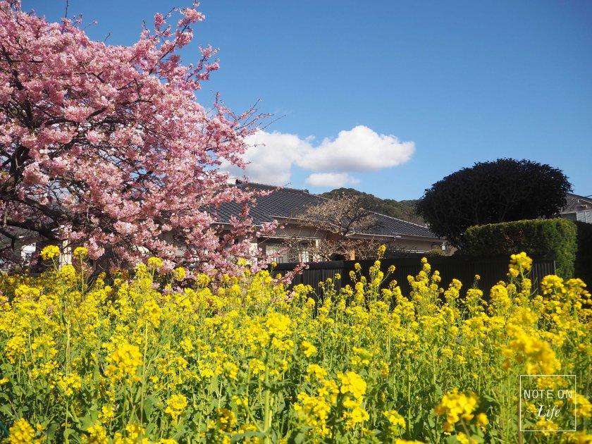 Sakura_Kawazu_Japan_河津櫻_14