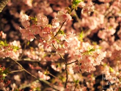 Sakura_Kawazu_河津櫻_Japan_Travel