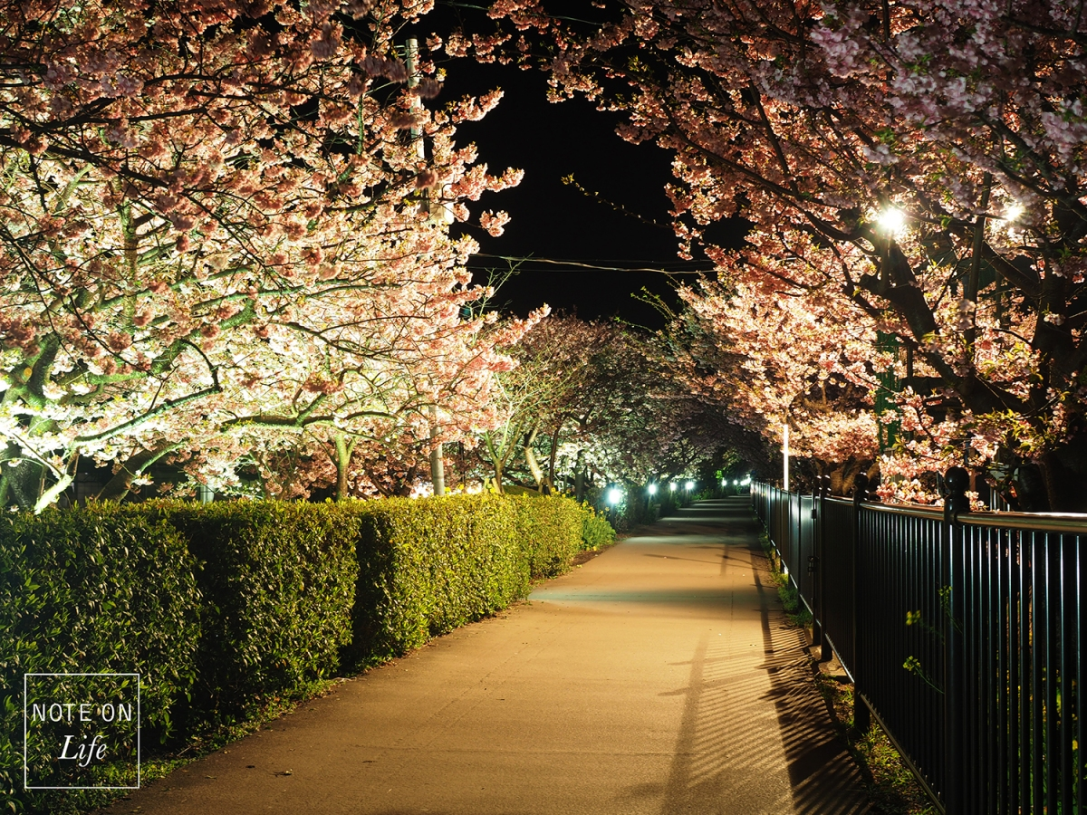 The Beauty of Sakura at Night – Kawazu