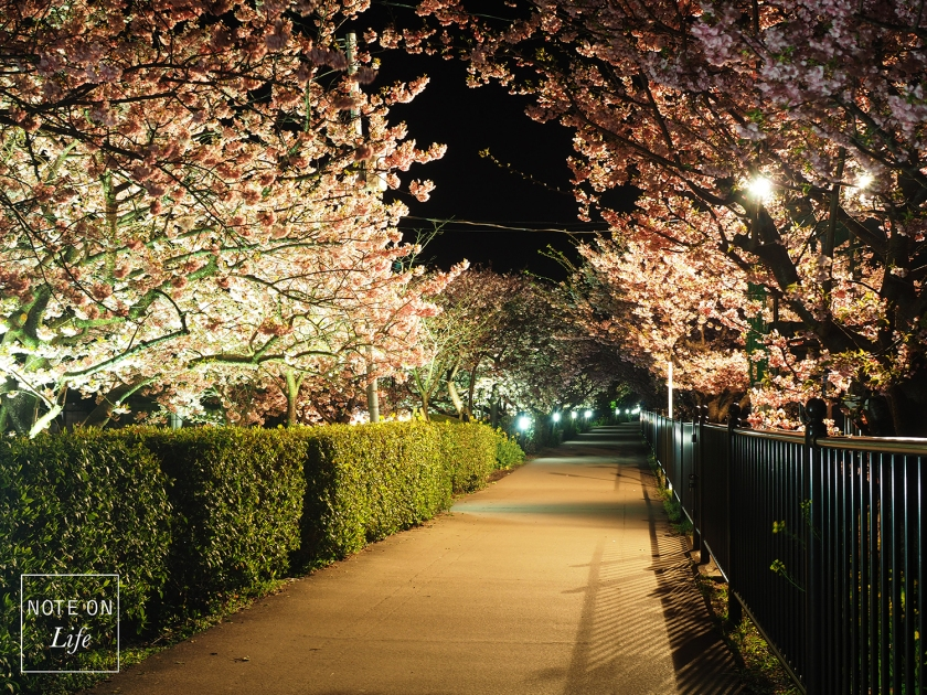 Night Sakura_Kawazu_河津櫻_Travel_Japan