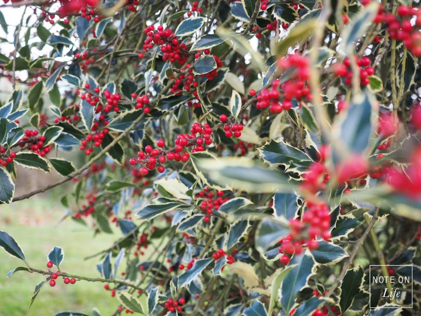 Kew Garden - Holly Tree Christmas