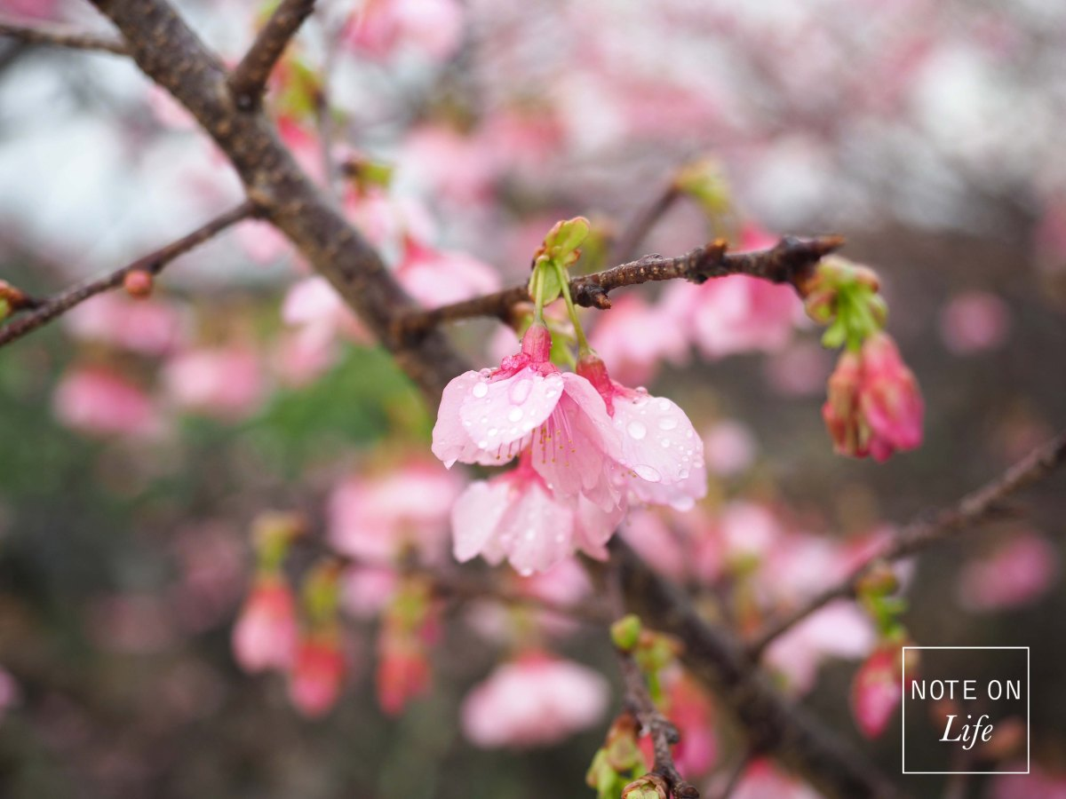 Earliest Cherry Blossom in Okinawa