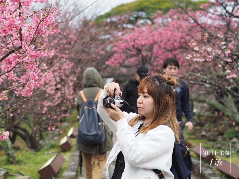 Okinawa Cherry Blossom, Sakura 2018 Travel