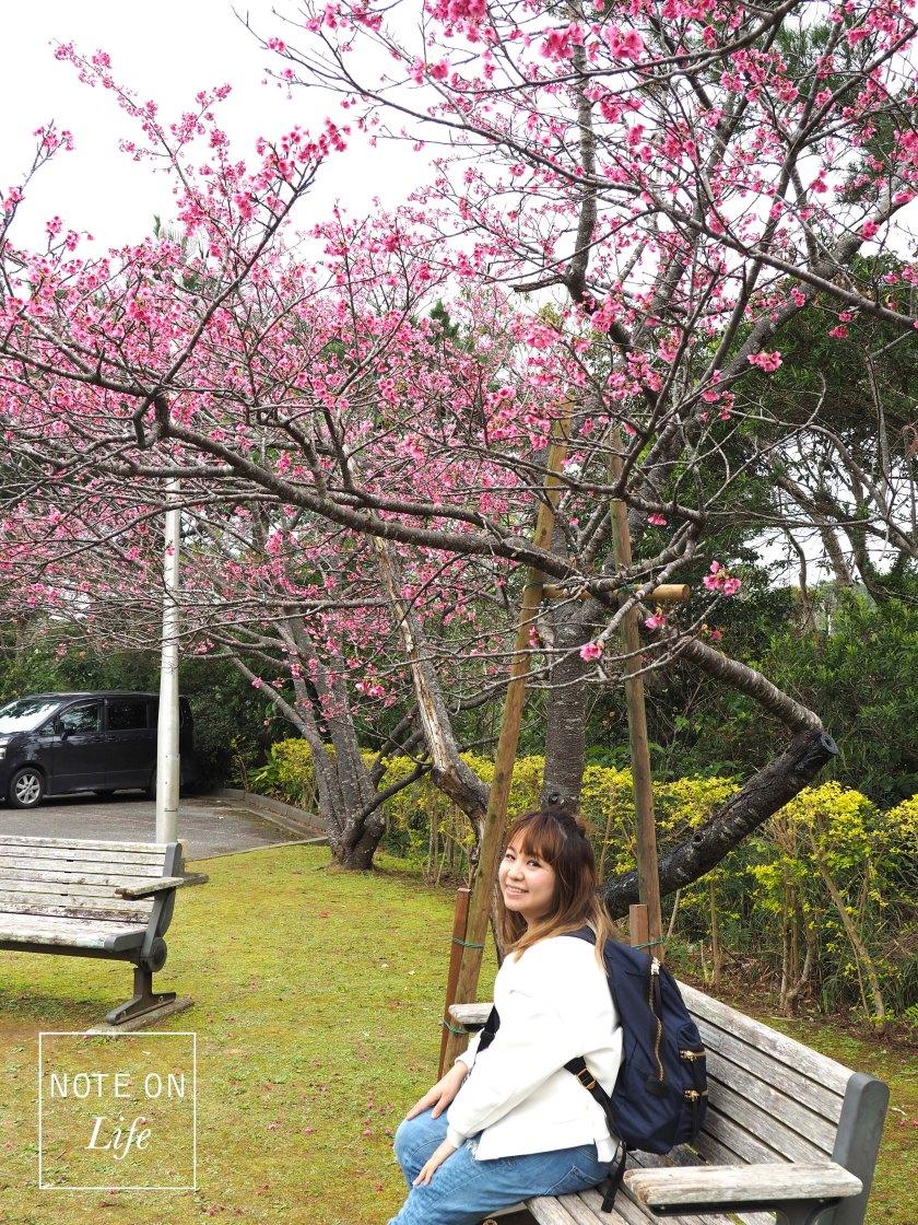 Nakijin Castle Remains Sakura Cherry Blossom Japan
