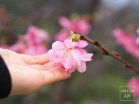 Nakijin Castle Remains Sakura Cherry Blossom Japan 今歸仁村